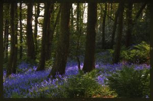 bluebell wood.... dappled blossom..... by Phil Darby