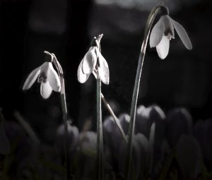 snowdrops.... by Phil Darby